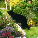 Black bear tip toeing thru the flowers