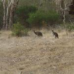 Kangaroo visitors.