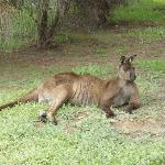 Native kangaroo