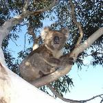 Resident Koala sitting in back yard tree