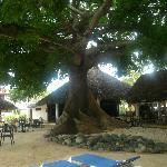 tree Ceiba