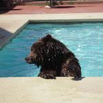 Griz having a good swim!