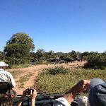 a herd of Cape buffalo on a game drive