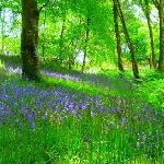 A local bluebell wood
