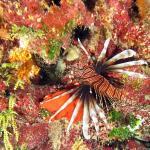 Peixe-leão camuflado nos corais