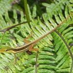 El Yunque Gecko on ferns