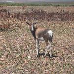 bontebok grazing