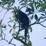 Howler monkey, Ruinas de Tikal, Guatemala