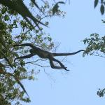 Spider monkeys in Tikal
