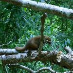Pizote seen during Tikal trek