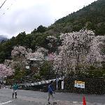 久遠寺の枝垂桜