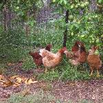 Rosedale's chooks
