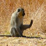 vervet monkey in front of our bungalow