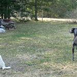 Kadoc our great dane and Luna