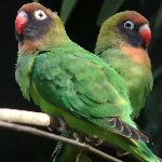 Black Cheeked Lovebirds