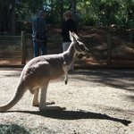 Kangaroo. Or Wallaby.