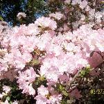 Blooming azaleas.