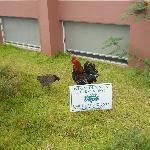 Roosters Rule - Tortola