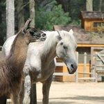 Horses and Llamas