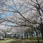 本当にきれいな桜でした。