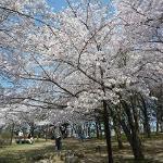 どの桜も満開でした。