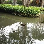 patitos del estanque