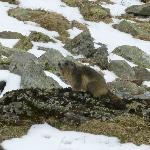 Look A Marmotte!
