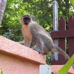 Green Monkey by our patio