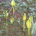 Spring Skunk Cabbage