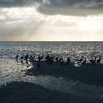 cormorani all'alba