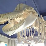 Killer Whale Skeleton Installation at Sitka Sound Science Center