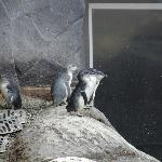 Small Blue Penguins
