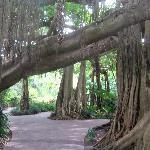 Fascinating Banyan tree