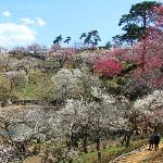 the whole park was covered with red and white of plum trees