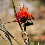 Sunbird purple Male - in wild brook