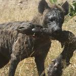 Hyena met buffelpoot in het Krugerpark.
