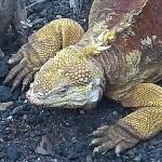 Land iguanas at the Darwin center on Santa Cruz