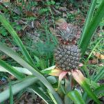 Pineapples growing at Lower Dover