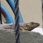 Lizard on Stoop