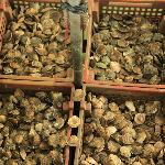sorting oysters