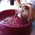 Big bowl of ice water for the dogs