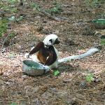 Aye Ayes are my favorite lemurs, but Sifakas are second