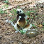 One of several Sifakas on our free range tour
