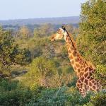Singita Boulders giraffe