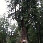 Drive thru tree just south of the Avenue of the giants