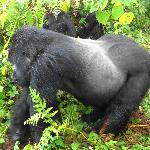 Charles, the alpha silverback of Umubano Family