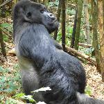 Guhonda, alpha silverback of Sabinyo and oldest, largest silverback in the world
