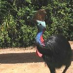 Female cassowary