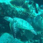 La tortue marine vie autour de l'archipel des Saintes