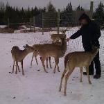 Feeding the tame deer.